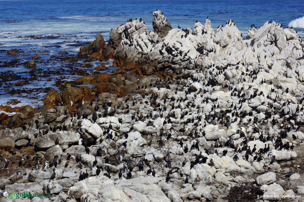 Und kurz vor Hermanus besuchten wir noch eine Pinguin Kolonie in Betties Bay.