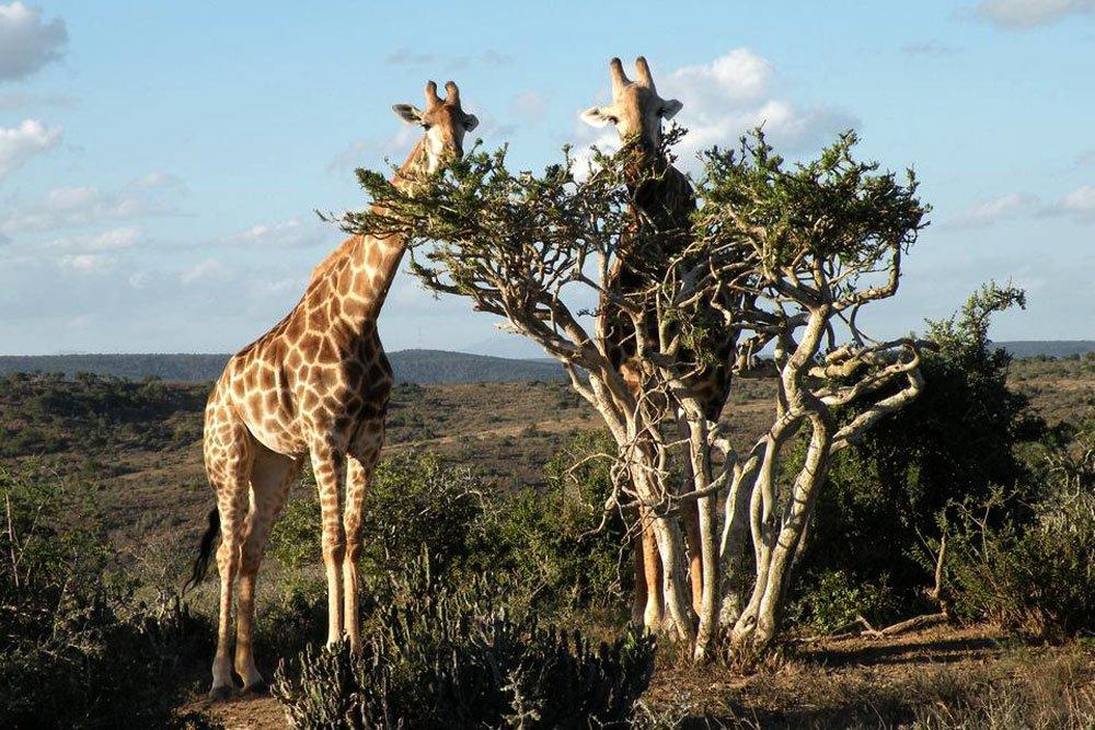 Golf-Gruppenreisen: Südafrika Golf pur (Giraffen)