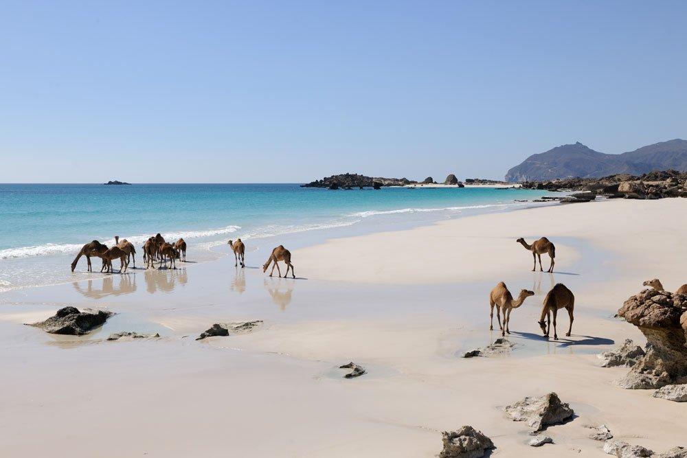 Golf-Gruppenreisen: Sultanat Oman (Kamele am Strand)